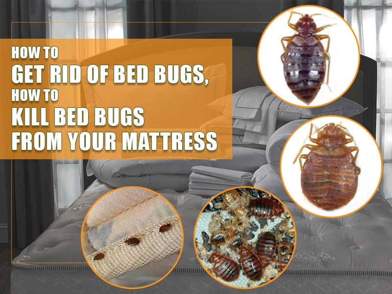 How To Get Rid Of Bed Bugs From Your Mattress How To